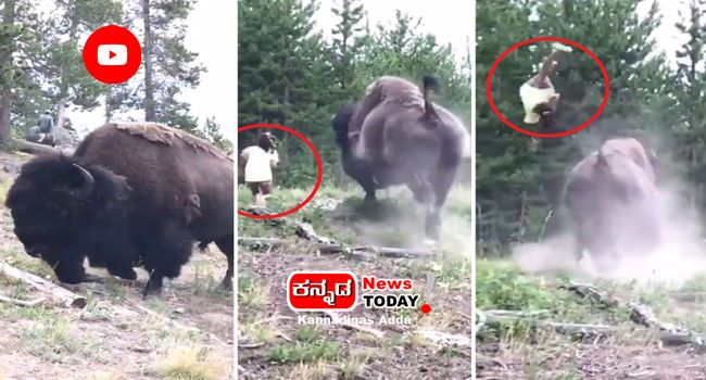 Viral video, child who gets thrown by a charging bison-viral videos in kannada